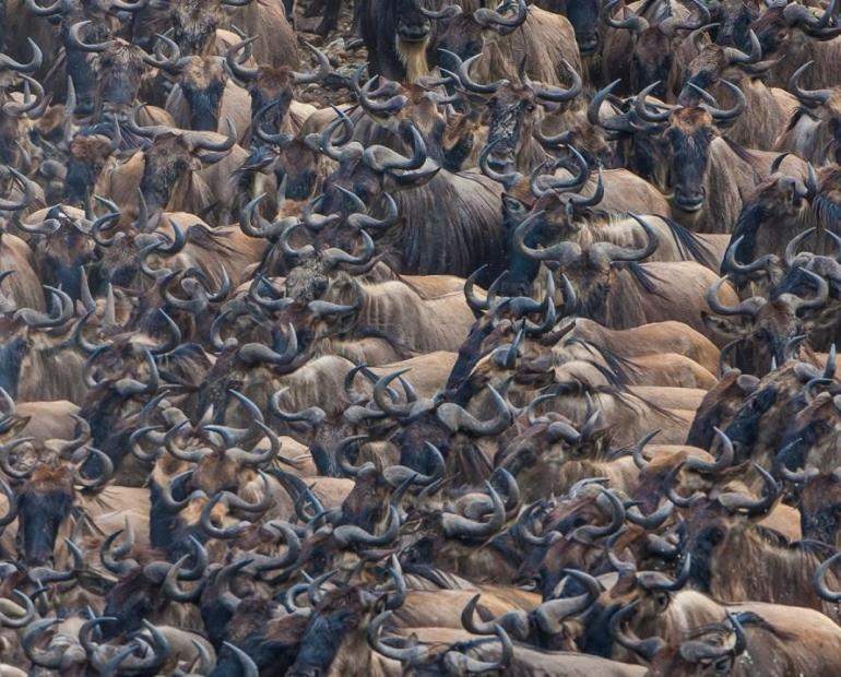 Wildebeest in the Mara