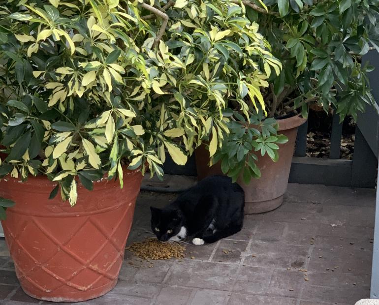A cat is hiding, eating under pottings.