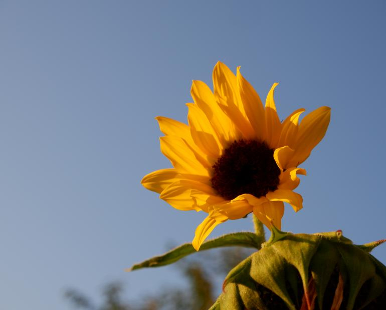 Sunflower before blue sky