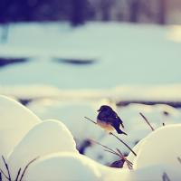 A photo of a small bird in the snow.