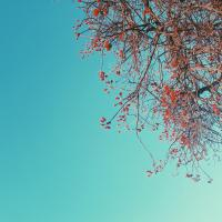 Picture of a flowering tree in spring . Its flowers a a vibrant pink colour