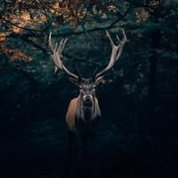 A picture of a buck, by Philipp Pilz on Unsplash
