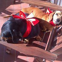 dos perros salchichas