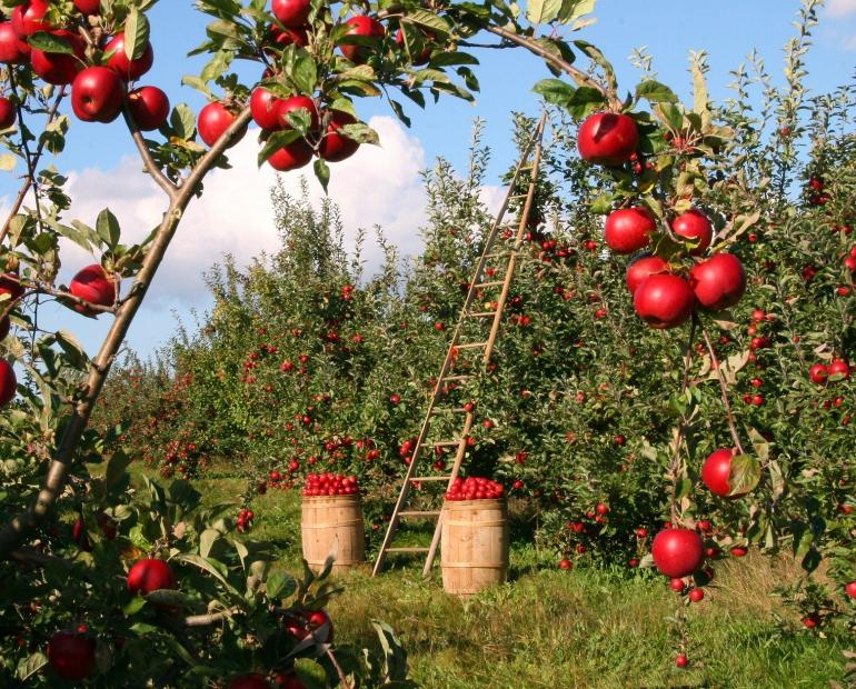 An apple orchard. In the background, a ladder stands against a tree and baskets full of apples next to it.