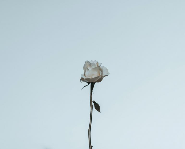 Lone white rose against blue sky