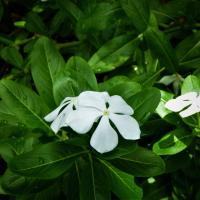Flor blanca rodeada de hojas verdes
